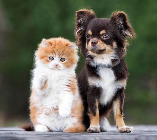Chihuahua mit Katze