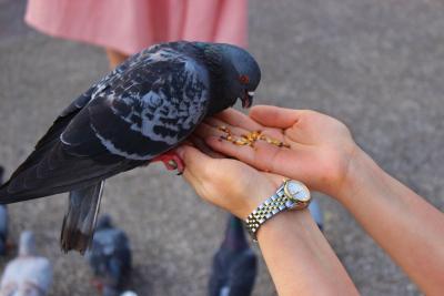 eine Taube wird gefüttert